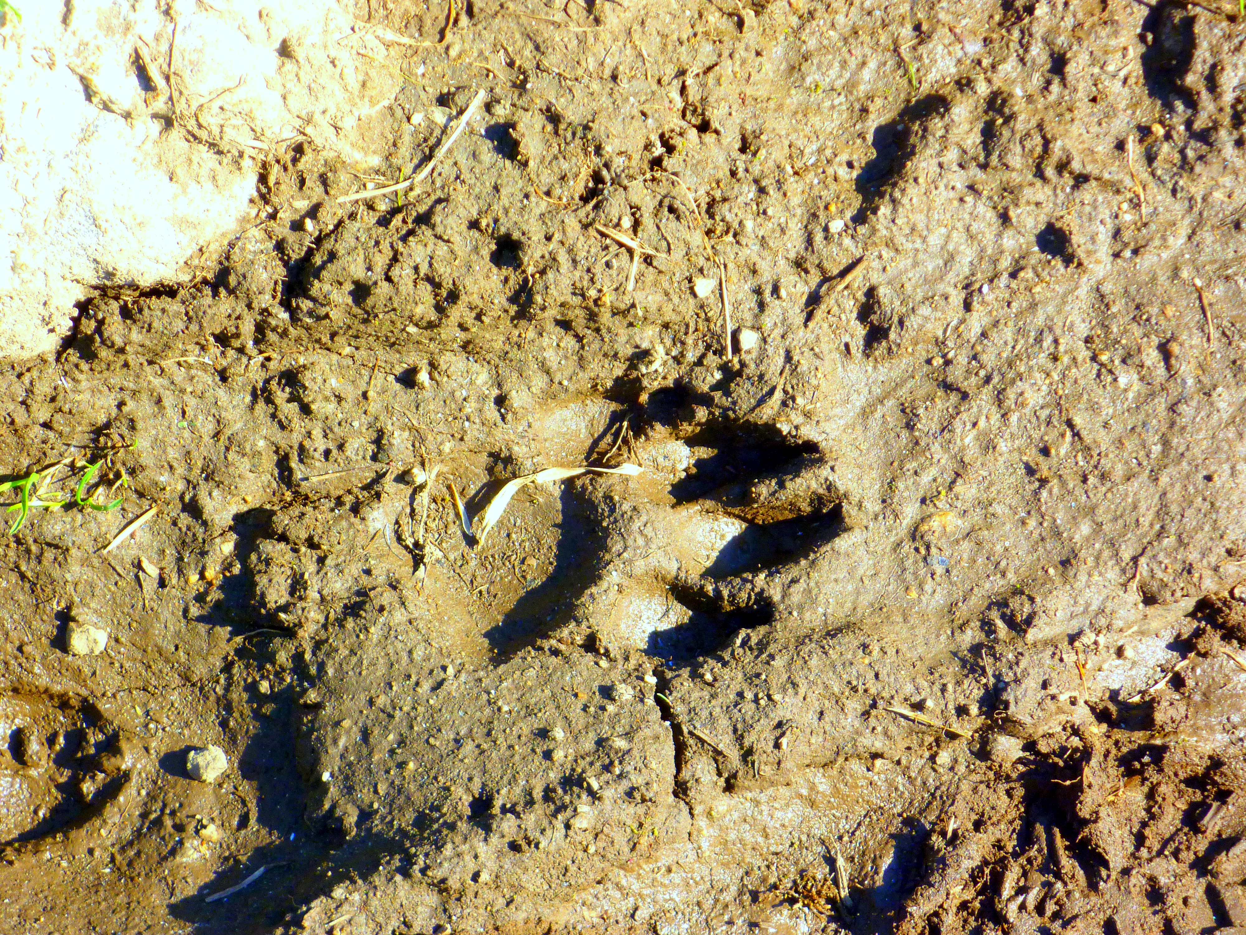 mountain lion tracks great outdoor shop